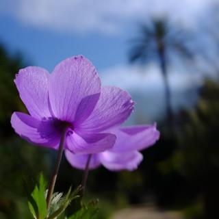 Si encara no tens un propòsit per aquest cap de setmana, noltros te'n volem suggerir un... Visita la Fundació Jardí Botànic de Sóller-Museu Balear de Ciències Naturals! Aquesta és una bona oportunitat per conèixer la biodiversitat de les nostres Illes i gaudir d'una oferta cultural segura envoltats de natura 💚 Recorda que ara obrim dissabtes i diumenges de 10 a 14h. T'esperam! @BotanicSoller @museubcnsoller #botanicsoller #florabalear #biodiversitat #visitsoller A#culturasegura #natura #mallorca #illesbalears #serradetramuntana #anemoneflower #anemonecoronaria #visitmallorca #jardíbotànic #jardinbotanico #botanicsgarden #hortusbotanicus #anemone #flowers #flora