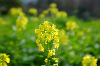 La tècnica d'adob verd consisteix en incrementar la matèria orgànica del sol prèviament al nostre cultiu hortícola a partir del cultiu de plantes de creixement ràpid, com n'és la mostassa (Sinapis alba). Ara, just en el moment en que inicia la floració, és el moment de tallar-les i deixar-les marcir sobre el terreny uns dies, per després incorporar-les i alimentar així la terra del nostre proper cultiu. #botanicsoller #JBSollerVarietatsLocals @agriculturagoib @feimfeinapdr @fogaiba#JBSollerVarietatsLocals #fogaiba #adobverd #agricultura #sinapisalba #sinapis #hort #sóller #mallorca #illesbalears