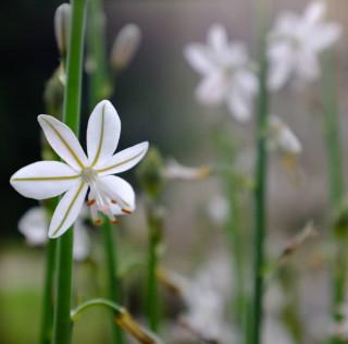 Al @botanicsoller comencem la setmana amb una bestreta de la primavera amb les primeres flors de la cibolla (Asphodelus fistulosus). 💚 I voltros, què tal heu començat la setmana? Feliç setmana! #botanicsoller #cibolla #asphodelusfistulosus #asphodelus #liliaceae #mediterraneanflora #floramediterrania #illesbalears #mallorca #sóller #floraBalear #jardíbotànic #JardínBotánico #flowerslovers #flower #botanical #garden #flora #nature #botanical #photonature #naturephotography